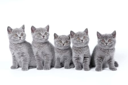 British Shorthair kittens sitting on a white background in a studio photo