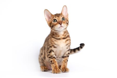 Bengal kitten sitting on a white background in a studio Stock Photo