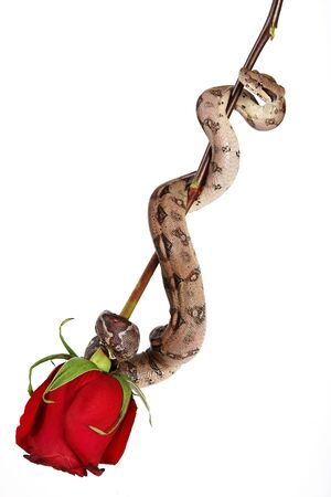 Rose with snake Stock Photo