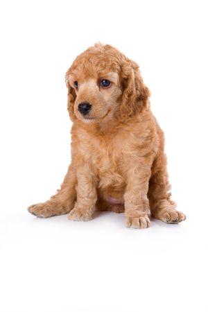 medium: Poodle Medium puppy