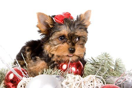 Yorkshire Terrier puppy (Yorkie)