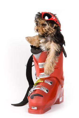 whelp: Yorkshire Terrier puppy (Yorkie)
