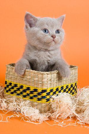 British Shorthair kitten in decoration on orange background