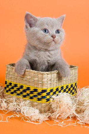 British Shorthair kitten in decoration on orange background photo