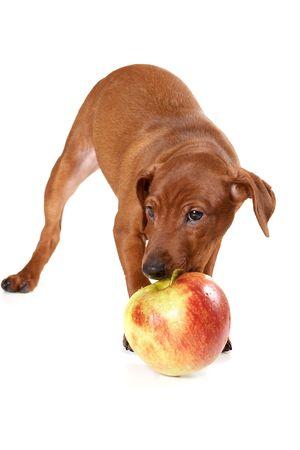 pinscher: Brown pinscher puppy