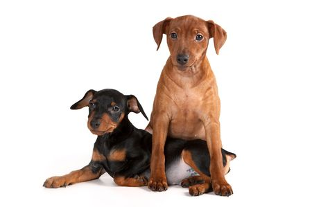 pinscher: Brown pinscher puppy