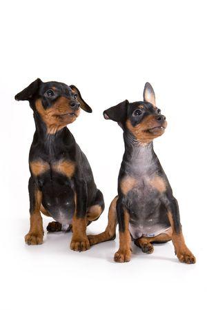 pinscher: Black pinscher puppy