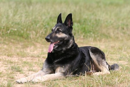 German Shepherd Dog Stock Photo - 3026864