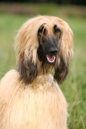 Afghan Hound Stock Photo - 3026807