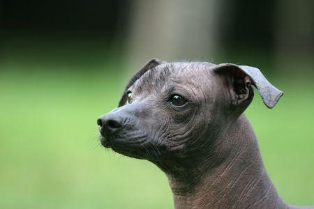 hairless: Mexican Hairless Dog Stock Photo