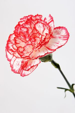 Pink carnation on white background photo
