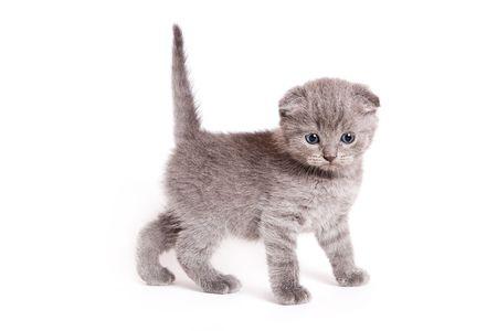 Scottish Fold Kitten Standard-Bild