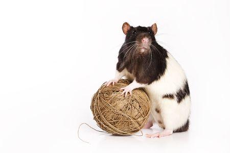 ascendant: Rat on white background