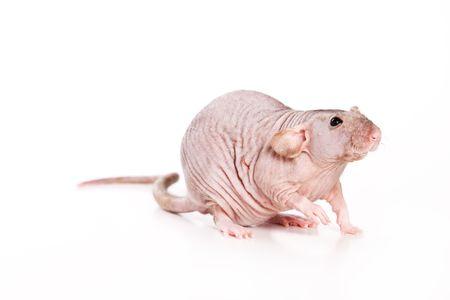 detestable: Rat on white background