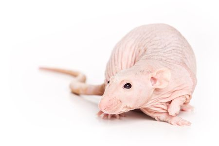 freak out: Rat on white background