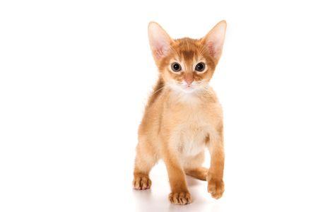 Abyssinian kitten on white background Standard-Bild