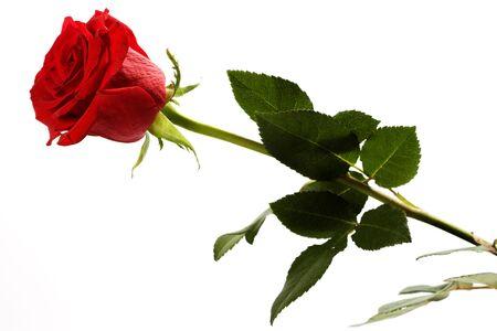 Rose on white background photo