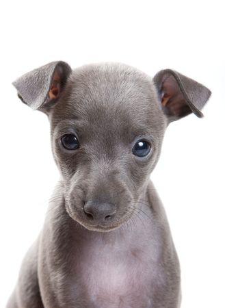 Greyhound on white background photo