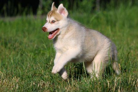 Siberian Husky in grass photo