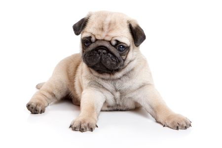 Pug on white background