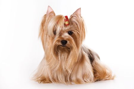 Yorkshire Terrier (Yorkie) puppy on a white background.