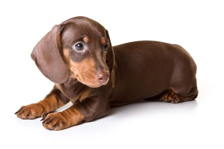 cur: Dachshund on white background Stock Photo