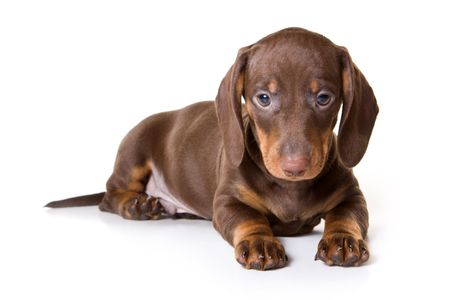 Dachshund on white background photo