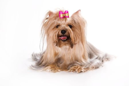 pet grooming: Yorkshire Terrier (Yorkie) puppy on a white background.