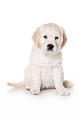 Golden retriever puppy on white background Standard-Bild