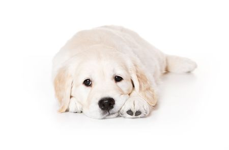 cur: Golden retriever puppy on white background Stock Photo