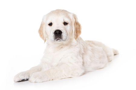 Golden retriever puppy on white background Stock Photo - 3280517