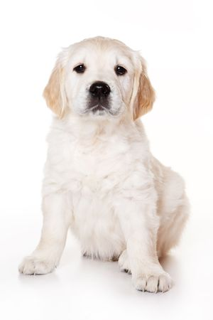 Golden retriever puppy on white background Stock Photo - 3280519