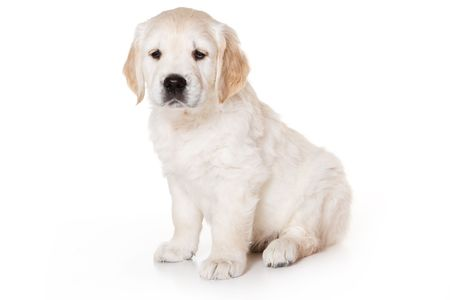 Golden retriever puppy on white background Stock Photo - 3280518