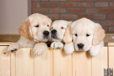 Several golden retriever puppies