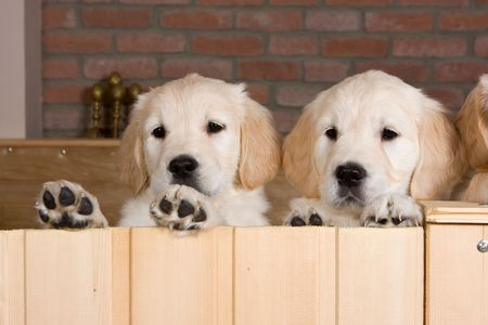 Several golden retriever puppies Stock Photo - 3280542