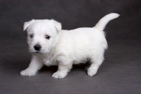 cur: West Highland White Terrier on grey background in studio
