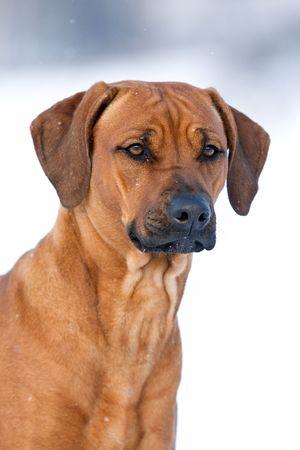 rhodesian: Rhodesian Ridgeback dog Stock Photo