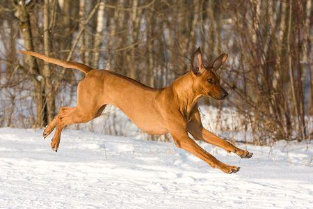 ridgeback: Rhodesian Ridgeback dog Stock Photo