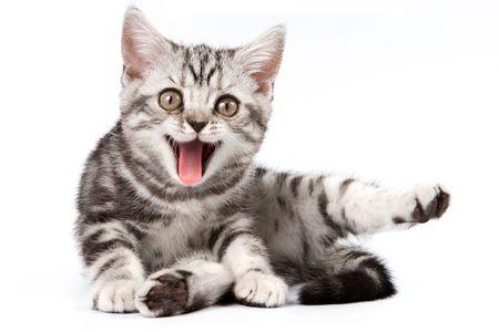 gente loca: Gato atigrado aisladas sobre fondo blanco
