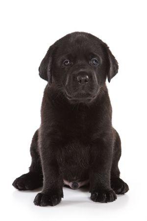 Labrador Retriever puppy on white photo