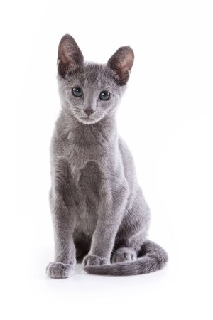 Russian blue kitten on white background photo