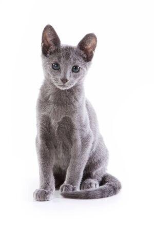 Russian blue kitten on white background Standard-Bild