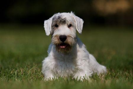 Sealyham Terrier portrait on grass