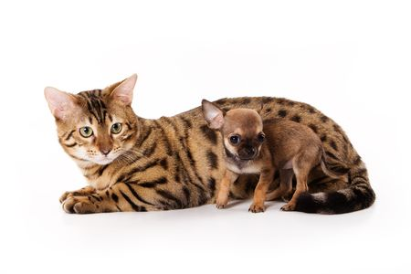 Bengal cat and chihuahua puppy photo