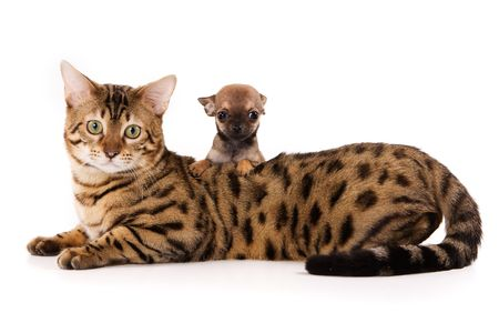 bengal cat: Bengal cat and chihuahua puppy Stock Photo