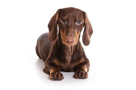 Dachshund puppy on white background Stock Photo