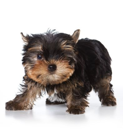 Yorkshire terrier puppy on white background Stock Photo - 3696256