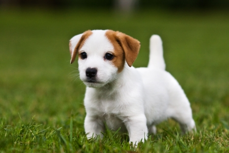 Jack Russell Terrier puppy on grass