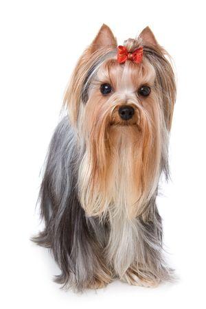 yorkshire terrier: Yorkshire terrier on white background
