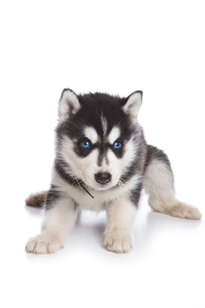 siberian: Siberian Husky puppy on white